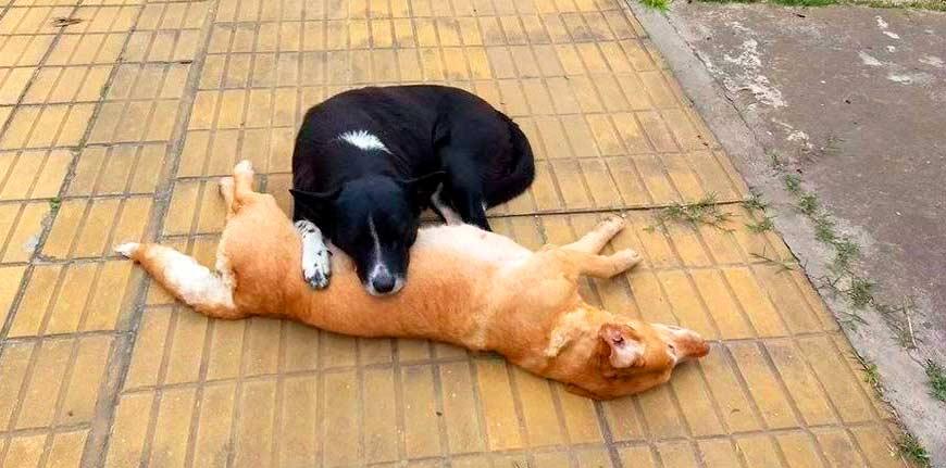 Perro arropa a su compañera tras atropello. Amistad entre perros