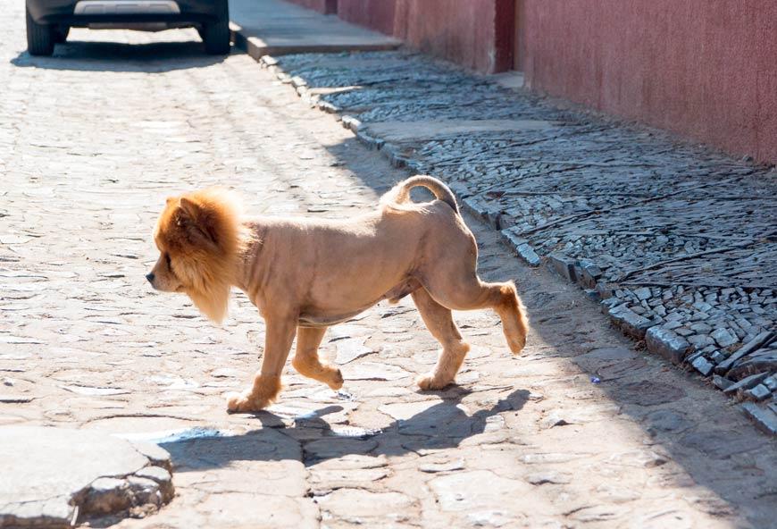 Perro con el pelo rapado en verano