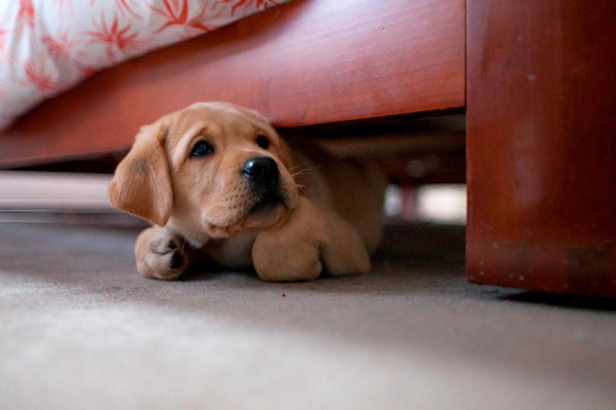 Perro escondido bajo la cama por miedo al ruido de los fuegos artificiales